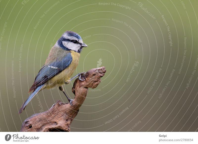 Hübsche Titte mit blauem Kopf nach oben schauend schön Leben Winter Garten Natur Tier Wildtier Vogel klein wild gelb grün weiß Tierwelt Schnabel Singvogel Ast
