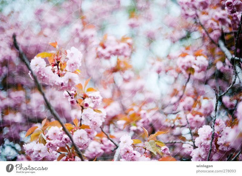 kirschenwald im sommer 1 Natur Pflanze Frühling Sommer Baum Blüte Kirschblüten Kirschbaum Kirschblütenfest Blühend Wachstum harmonisch Farbfoto Außenaufnahme