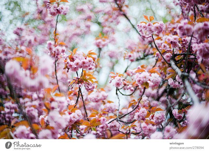 kirschenwald im sommer 2 Natur Ferien & Urlaub & Reisen Sommer Baum Pflanze Blume Wald Frühling Blüte Denken träumen Kunst Park Wachstum Europa Schönes Wetter