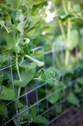 Zuckerschoten Natur grün Sommer Pflanze Garten Gesundheit natürlich Lebensmittel Wachstum frisch Ernährung Landwirtschaft Gemüse Ernte Bioprodukte Gartenarbeit