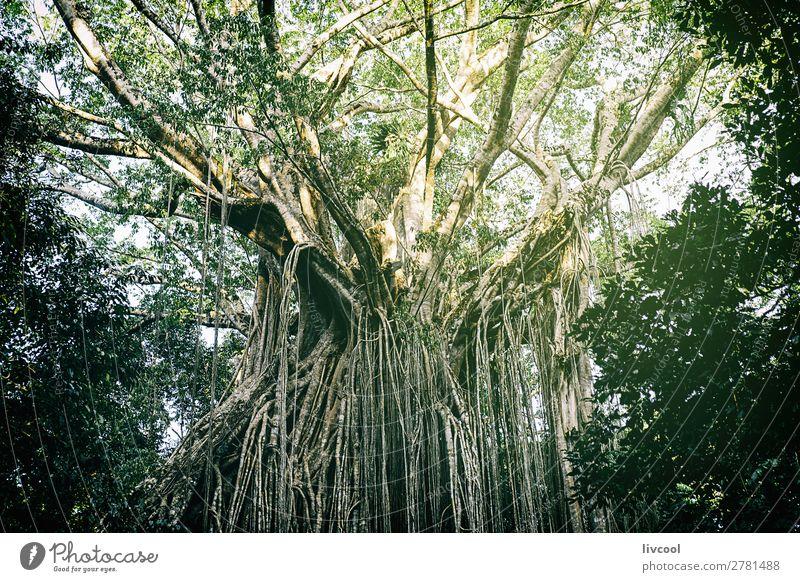Vorhang Feigenbaum V, Australien Leben Sonne Natur Landschaft Pflanze Frühling Baum Blatt Grünpflanze Wildpflanze Park dunkel wild grün Abenteuer Zufriedenheit
