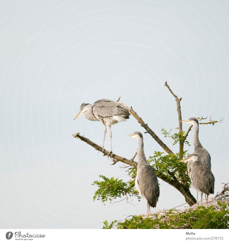 Spring! Umwelt Natur Tier Baum Baumkrone Geäst Wildtier Vogel Reiher Graureiher 4 Tiergruppe Tierjunges hocken Blick stehen frei Zusammensein natürlich Neugier