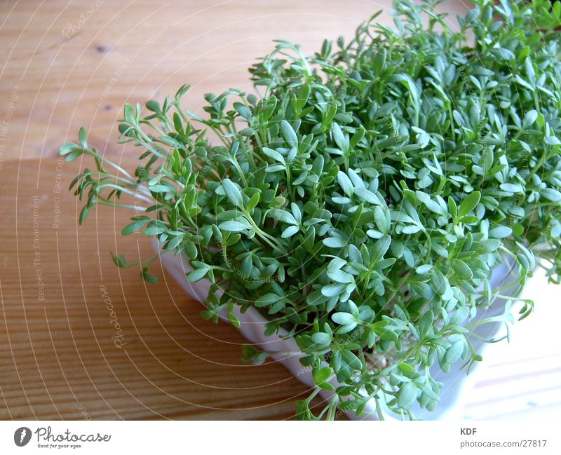 Kresse grün Pflanze Blatt Ernährung Holz Gesundheit Lebensmittel frisch Gemüse ökologisch Bioprodukte Biologische Landwirtschaft Trieb Keim biologisch