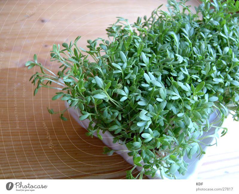 Kresse Holz Pflanze Blatt Trieb Keim Detailaufnahme grün frisch Gesundheit Ernährung Bioprodukte Biologische Landwirtschaft biologisch ökologisch