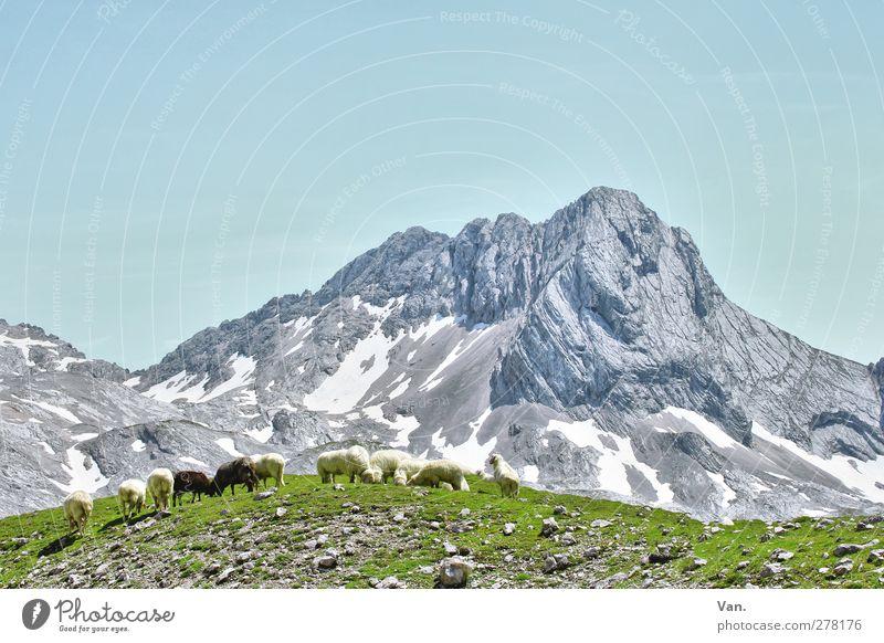 Bergidyll mit Mäh Natur blau Ferien & Urlaub & Reisen Sommer Tier Landschaft Berge u. Gebirge Schnee Gras Stein Felsen wandern Schönes Wetter Alpen Gipfel Schaf