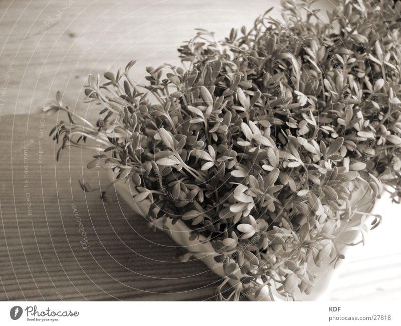 Kresse weiß grün Pflanze Blatt schwarz Holz Keim
