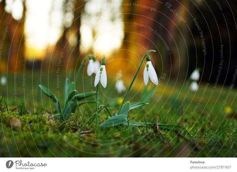 Frühling Umwelt Natur Landschaft Pflanze Blume Gras Blüte Wildpflanze Garten Park Wiese klein nah natürlich braun grün weiß Frühblüher Frühlingsblume