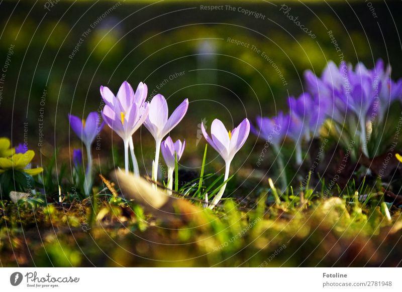 Kroküsse ;-) Umwelt Natur Pflanze Urelemente Erde Frühling Blume Blüte Garten Park Wiese frisch hell nah natürlich grün violett Krokusse Frühblüher