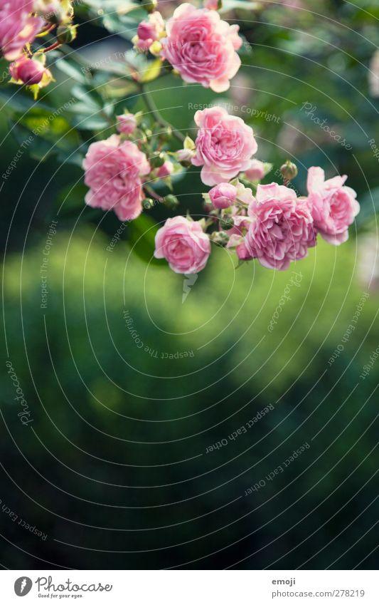 was denken WIR bei diesem Foto? Umwelt Natur Pflanze Frühling Blume Rose Grünpflanze natürlich grün rosa Farbfoto Außenaufnahme Nahaufnahme Detailaufnahme