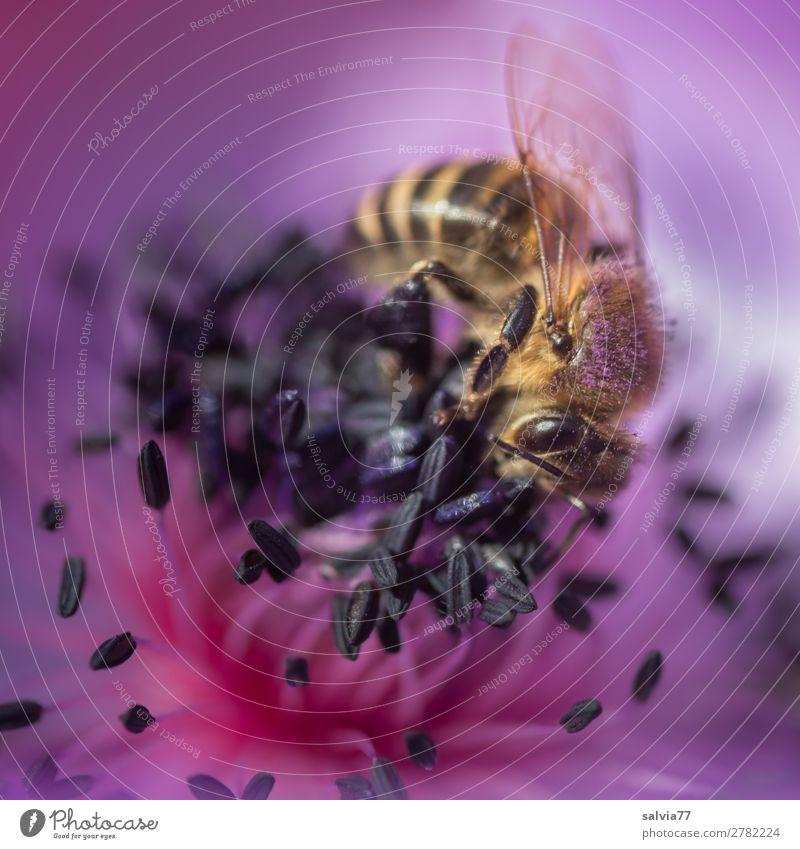 ganz im Element Umwelt Natur Pflanze Tier Frühling Sommer Blüte Anemonen Garten Nutztier Biene Insekt Honigbiene 1 Blühend Duft violett Pollen bestäuben