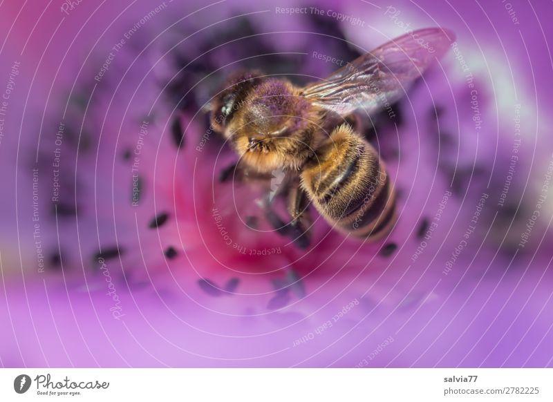 lila Blütenparadies Duft Umwelt Natur Frühling Sommer Pflanze Blume Garten Tier Nutztier Biene Honigbiene Insekt 1 Blühend lecker violett