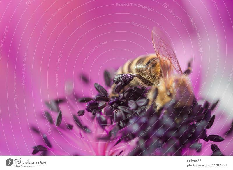 bei der Arbeit Natur Frühling Blume Blüte Garten Tier Nutztier Biene Flügel Insekt Honigbiene Pollen Nektar Anemonen 1 Duft natürlich violett rosa