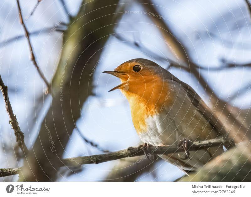 Singendes Rotkehlchen Natur Tier Himmel Sonnenlicht Schönes Wetter Baum Wildtier Vogel Tiergesicht Flügel Krallen Schnabel Auge Feder 1 leuchten Blick sitzen