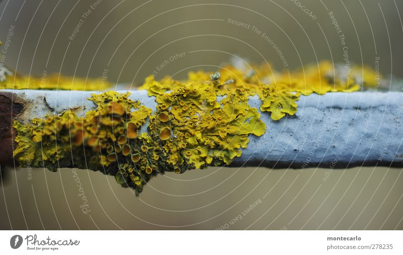 Längs oder Quer... Umwelt Natur Pflanze Moos Grünpflanze Wildpflanze Flechten Zaun alt dünn authentisch eckig einfach klein lang natürlich trist wild weich gelb
