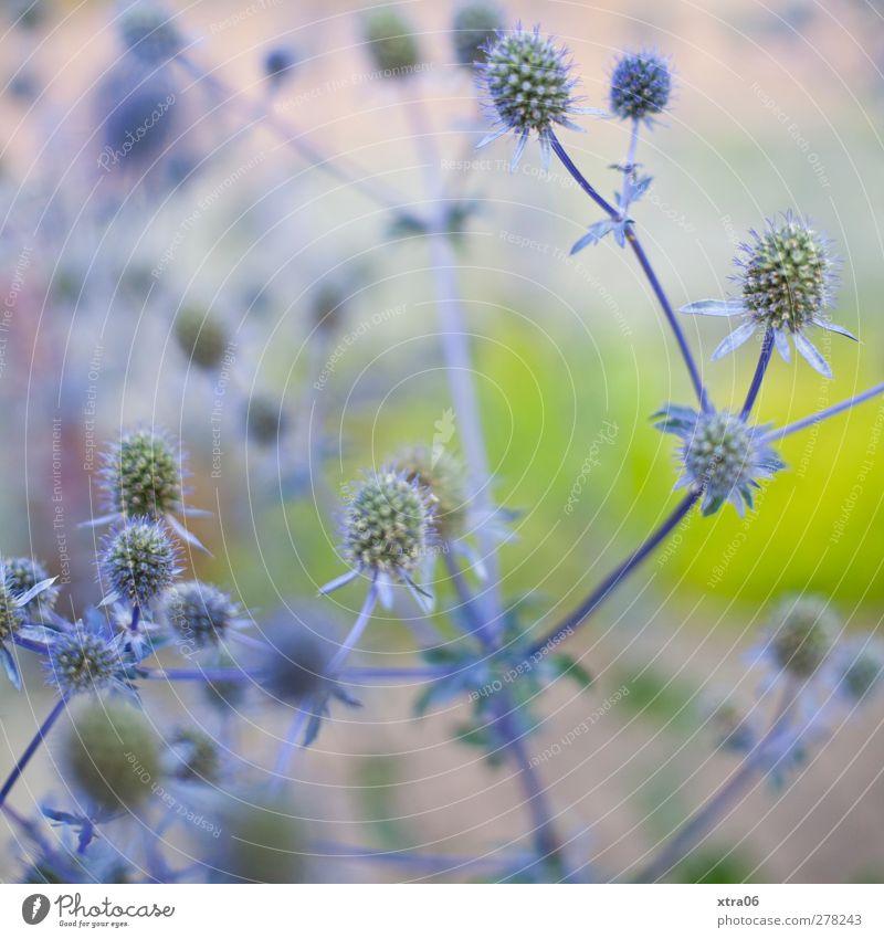 bleu Natur blau Pflanze Blume Umwelt elegant Sträucher