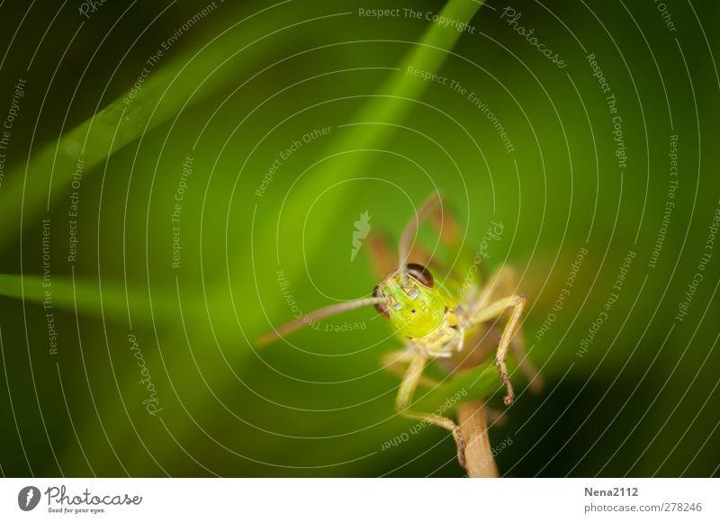 Grashalmklettern Natur Tier Sommer Pflanze Wildpflanze Wiese Tiergesicht 1 grün Insekt Heuschrecke sauterelle Ton-in-Ton Klettern face a face springen klein