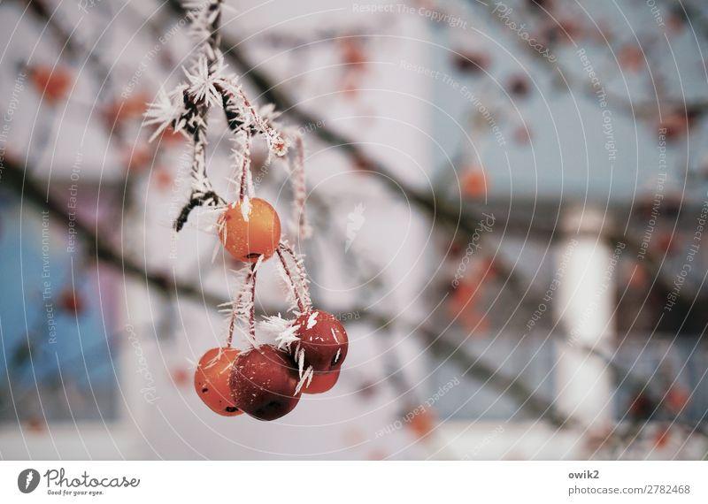 Feinfrost Umwelt Natur Pflanze Winter Eis Frost Baum Zweig Beeren frieren hängen kalt Eiskristall Farbfoto Außenaufnahme Detailaufnahme Menschenleer