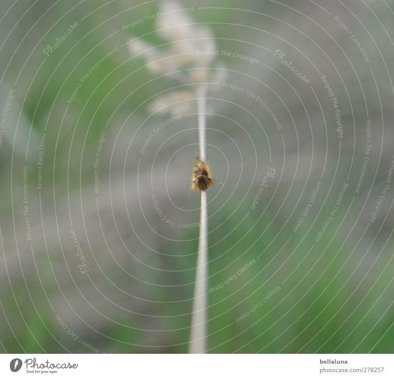 Hiddensee | Siegfried ist sexy Natur grün Pflanze Tier Umwelt Wiese Gras Frühling grau Garten Park braun Wildtier Tiergesicht krabbeln Raupe