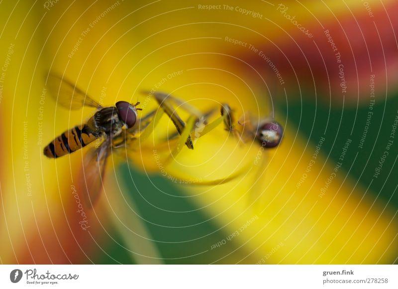 treffen sich zwei... Natur Pflanze Tier Sommer Blume Blüte Pollen Blütenstempel Wildtier Fliege Flügel 2 Tierpaar Blühend fliegen nah schön wild braun gelb grün