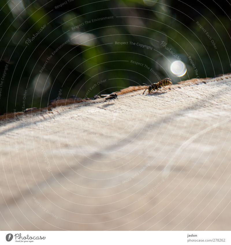 olympia der tiere. Tier Holz Fliege Blendenfleck Wespen