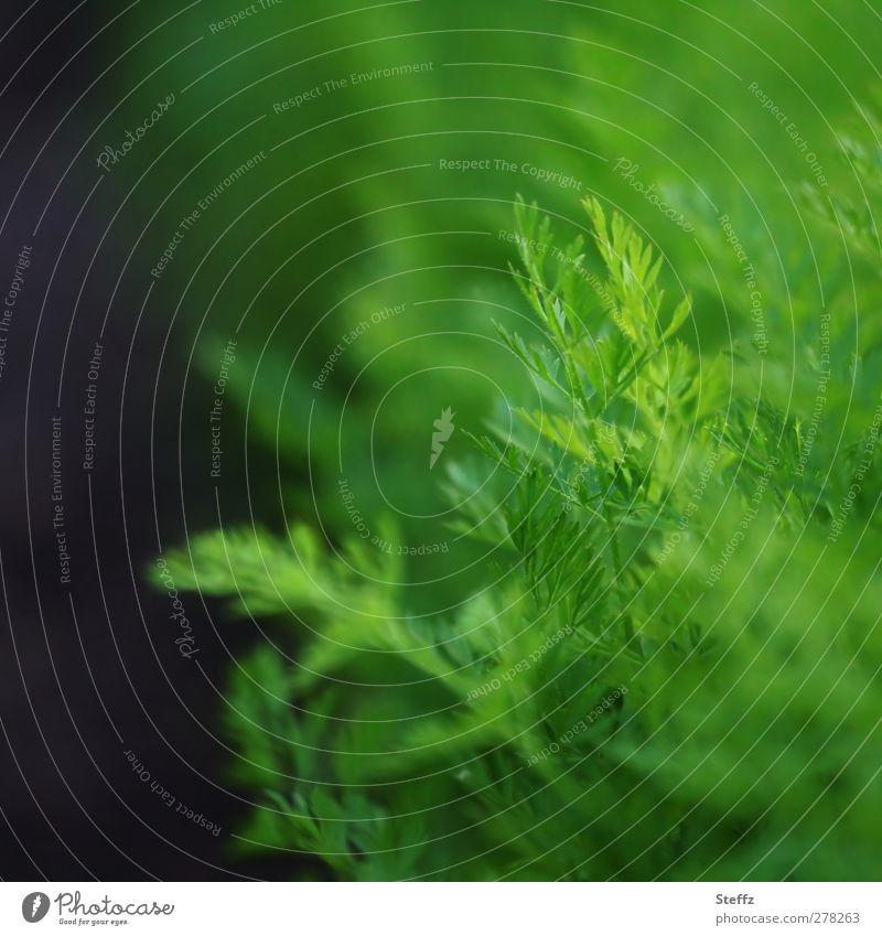 Karottengrün Möhre Gemüse Jungpflanze Wurzelgemüse Gartengemüse Gemüsebeet Gemüsegarten Gartenpflanzen Lebensmittel Bio saftiges grün Bioprodukte Nutzpflanze