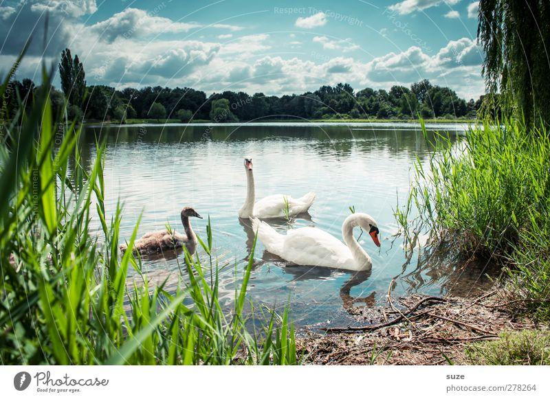 Sonntagsausflug Umwelt Natur Landschaft Tier Wasser Himmel Wolken Horizont Sommer Schönes Wetter Seeufer Wildtier Vogel Schwan 3 Tierpaar Tierjunges Tierfamilie