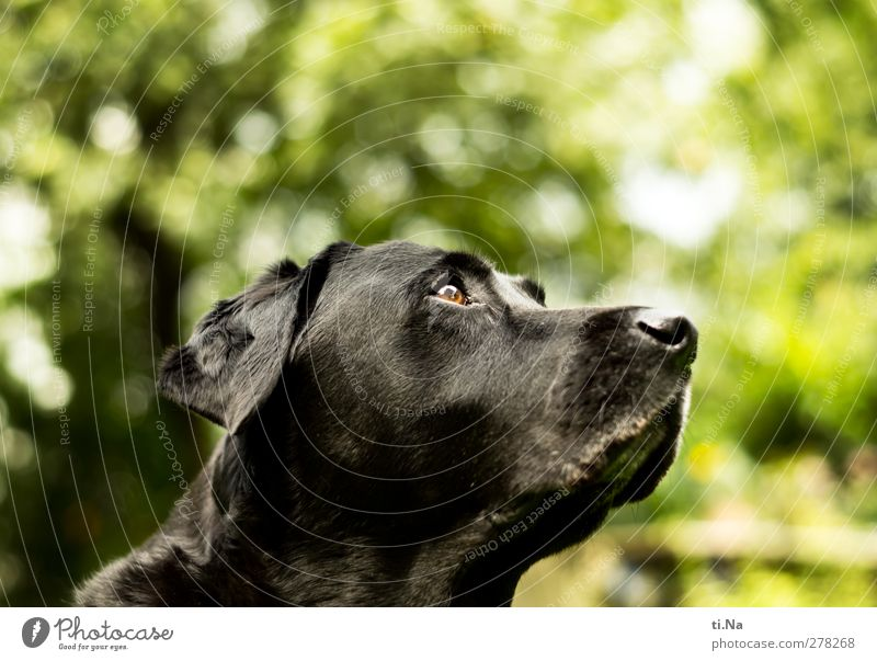 alles ist gut, der Countdown läuft Garten Tier Haustier Hund 1 beobachten Freundlichkeit Neugier gelb grün schwarz Labrador Farbfoto Gedeckte Farben