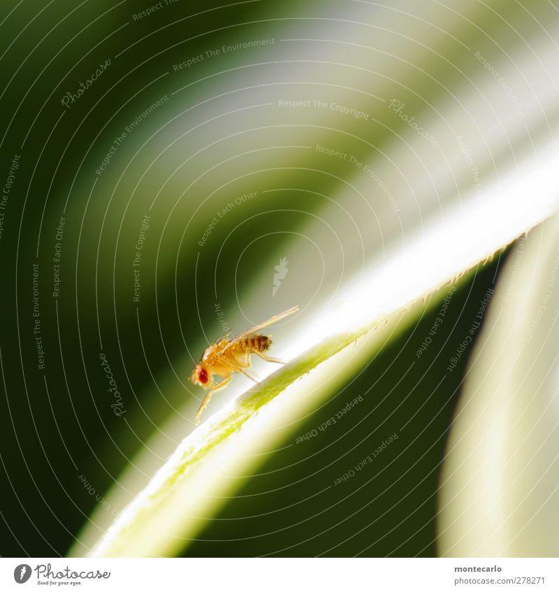 Red Eyes Umwelt Natur Pflanze Blatt Tier Wildtier Fliege Tiergesicht Flügel Insekt 1 dünn authentisch exotisch hässlich klein natürlich wild gelb Farbfoto