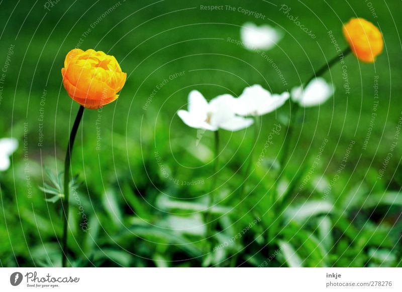 3 Farben aus meinem Garten Natur Pflanze Sommer Schönes Wetter Blume Gras Blüte Wiese Blühend natürlich schön grün orange weiß Wachstum Farbfoto Nahaufnahme