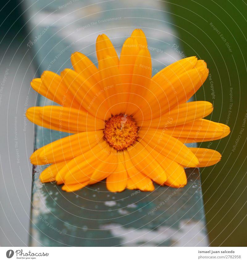 Orangenblütenpflanze Blume orange Blütenblatt Pflanze Garten geblümt Natur Dekoration & Verzierung Romantik Beautyfotografie Zerbrechlichkeit Hintergrund