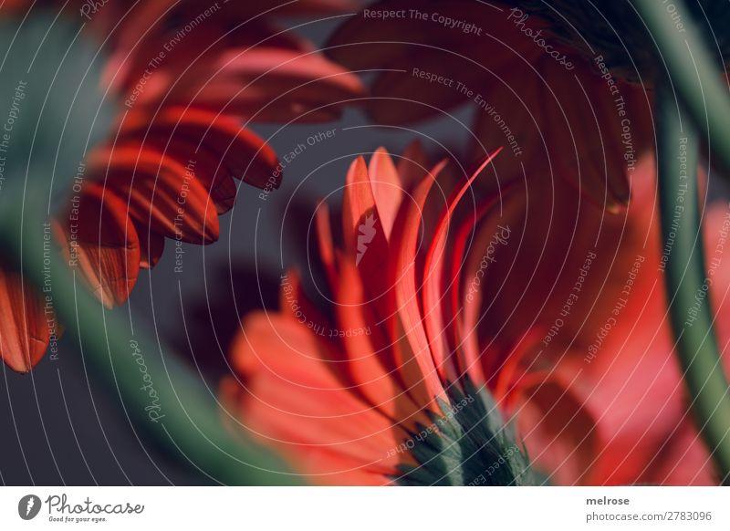 Gerbera rot grün Lifestyle elegant Frühling Pflanze Blume Blüte Blumenstrauß Blütenpflanze Blütenstiel Rückansicht Perspektive Farbe Detailaufnahme Blühend