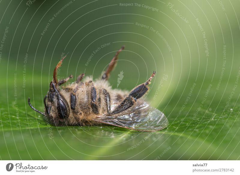 tote Arbeitsbiene Tier Nutztier Totes Tier Biene Tiergesicht Flügel Honigbiene Insekt 1 grün Tod bizarr Ende Umwelt Umweltschutz Vergänglichkeit
