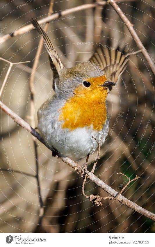 Robin, Vogel in den Zweigen. schön Natur Tier Baum 1 stehen streichen hell klein niedlich wild exotisch Farbe Rotkehlchen Tierwelt orange gehockt Singvogel