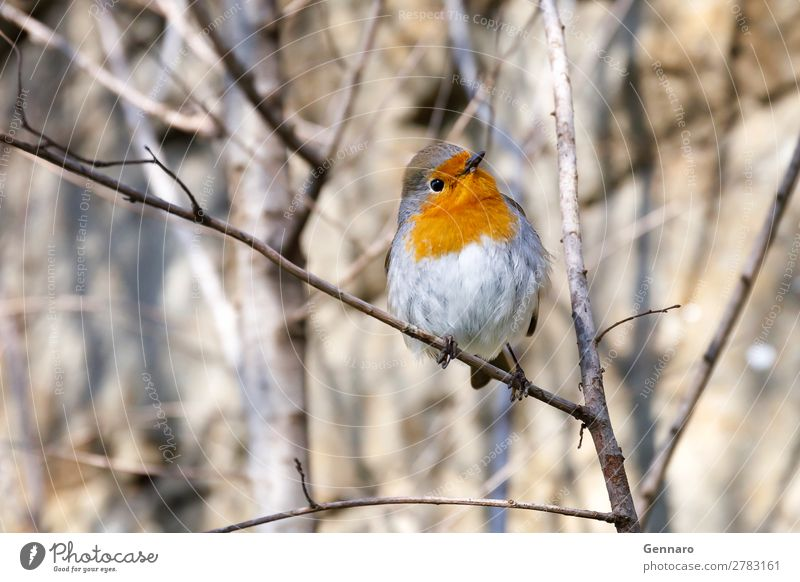 Robin, Vogel in den Zweigen. schön Natur Tier Baum 1 stehen hell klein niedlich wild gelb orange Fröhlichkeit exotisch Farbe Rotkehlchen Tierwelt gehockt