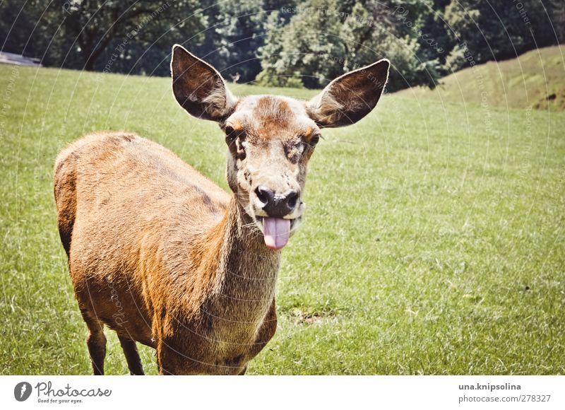 bäh Natur grün Freude Tier Wald Wiese lustig braun Wildtier verrückt Fell Tiergesicht frech Zunge Reh Hirschkuh