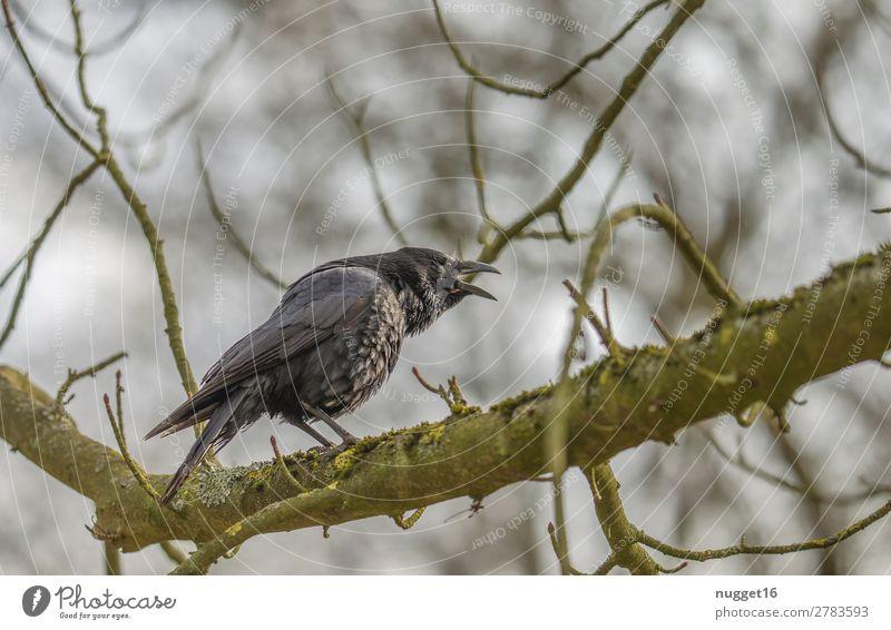 Krähe Umwelt Natur Pflanze Tier Himmel Sonnenlicht Frühling Sommer Herbst Winter Schönes Wetter Baum Garten Park Wald Wildtier Vogel Tiergesicht Flügel