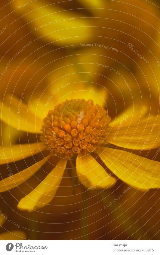 Duft des Sommers Umwelt Natur Pflanze Frühling Herbst Blume Blüte Garten Park Blühend nah natürlich gelb gold Umweltverschmutzung Umweltschutz Blumenwiese
