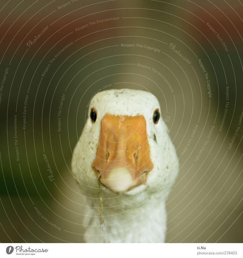 look at me grün weiß schön Tier gelb orange natürlich Fröhlichkeit beobachten Lächeln Neugier Freundlichkeit Tiergesicht Haustier Gans Sympathie