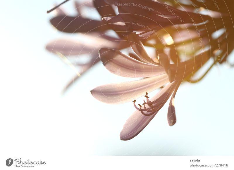 von der sonne geküsst Umwelt Natur Pflanze Himmel Blüte Topfpflanze Blühend ästhetisch zart Farbfoto Außenaufnahme Nahaufnahme Detailaufnahme Makroaufnahme
