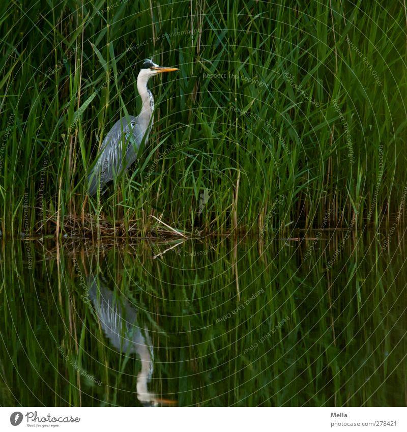Tarnung: Mangelhaft Umwelt Natur Landschaft Tier Wasser Gras Blatt Schilfrohr Seeufer Teich Wildtier Vogel Reiher Graureiher 1 Blick stehen natürlich grün