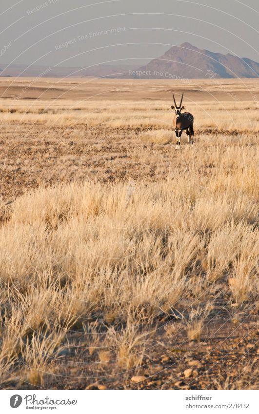 Guter, alter Bekannter Natur Tier Landschaft Umwelt Berge u. Gebirge Wärme Gras Wildtier stehen Wüste Stranddüne Düne Grasland Dürre Steppe Namibia