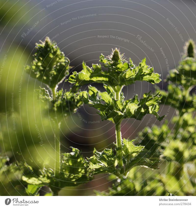 Frische Minze Natur Pflanze grün Sommer Blatt Blüte natürlich Gesundheit Wachstum frisch leuchten Kräuter & Gewürze Stengel Medikament Duft Blütenknospen