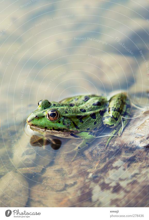 Teichbewohner Umwelt Natur Tier Wasser Wildtier Frosch 1 natürlich grün Farbfoto Außenaufnahme Nahaufnahme Makroaufnahme Menschenleer Tag Schwache Tiefenschärfe