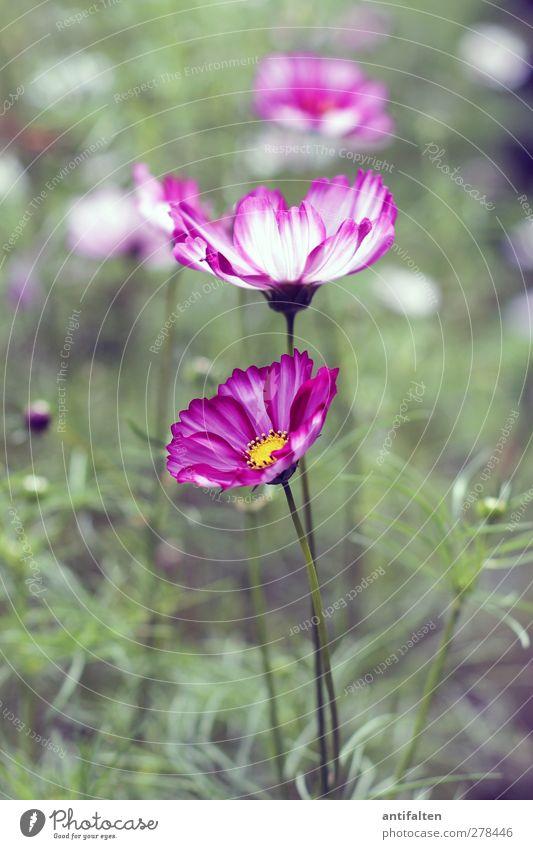 Summer flowers Natur Pflanze Blume Gras Sträucher Blatt Blüte Wildpflanze Garten Park Blumenwiese Blumenbeet Blühend grün violett rosa Sommer Blumenstengel
