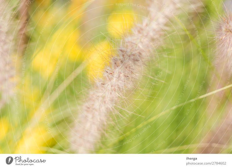 Hintergrund verwischt Pflanzen im Frühjahr mit Feldtiefe Kräuter & Gewürze Natur Gras Blühend Wachstum natürlich gelb grün Farbe organisch ländlich Stengel