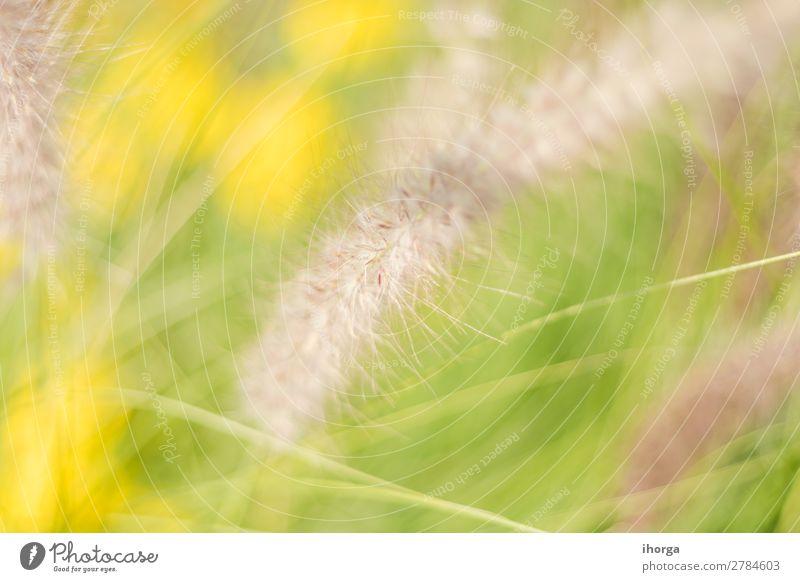 Hintergrund verwischt Pflanzen im Frühjahr mit Feldtiefe Kräuter & Gewürze Natur Gras Garten Wiese Blühend Wachstum natürlich gelb grün Farbe organisch ländlich