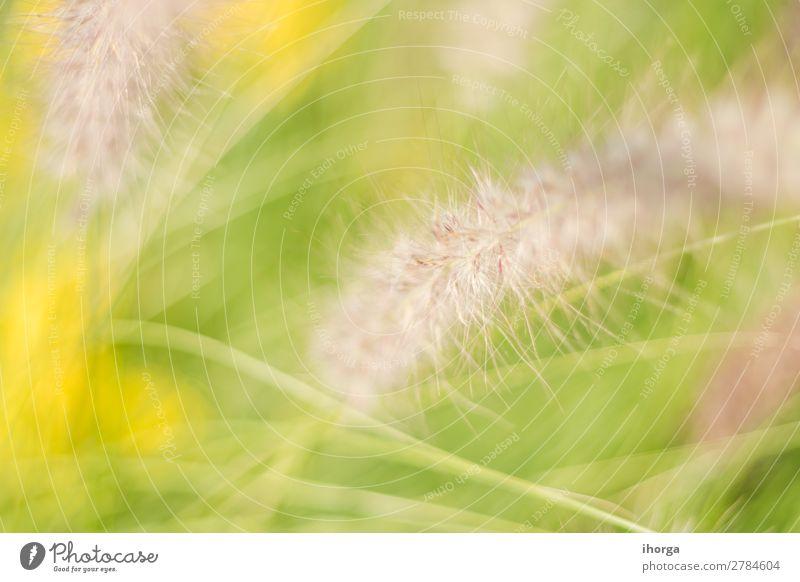 Hintergrund verwischt Pflanzen im Frühjahr mit Feldtiefe Kräuter & Gewürze Natur Frühling Gras Blühend Wachstum natürlich gelb grün Farbe organisch ländlich