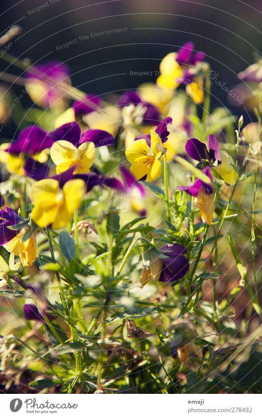 Mütterchen Natur Sommer Pflanze Blume gelb Umwelt Frühling natürlich Stiefmütterchen