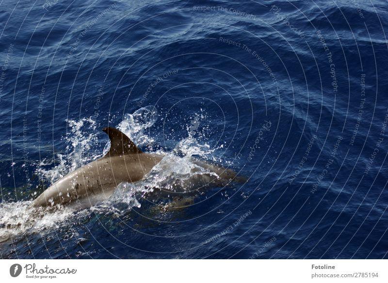 Delfin Umwelt Natur Tier Urelemente Wasser Wassertropfen Wellen Meer Wildtier 1 frei hell nah nass natürlich dünn klug wild blau grau Delphine Schwimmen & Baden
