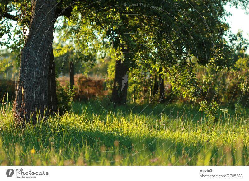 Alter Obstgarten Umwelt Natur Landschaft Wetter Schönes Wetter Pflanze Baum Gras Grünpflanze Nutzpflanze Garten Wiese schön Leben Naturliebe natürlich grün